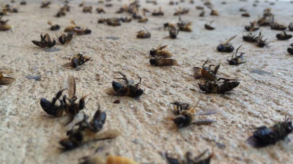 5G tappoi mehiläiset Kaliforniassa